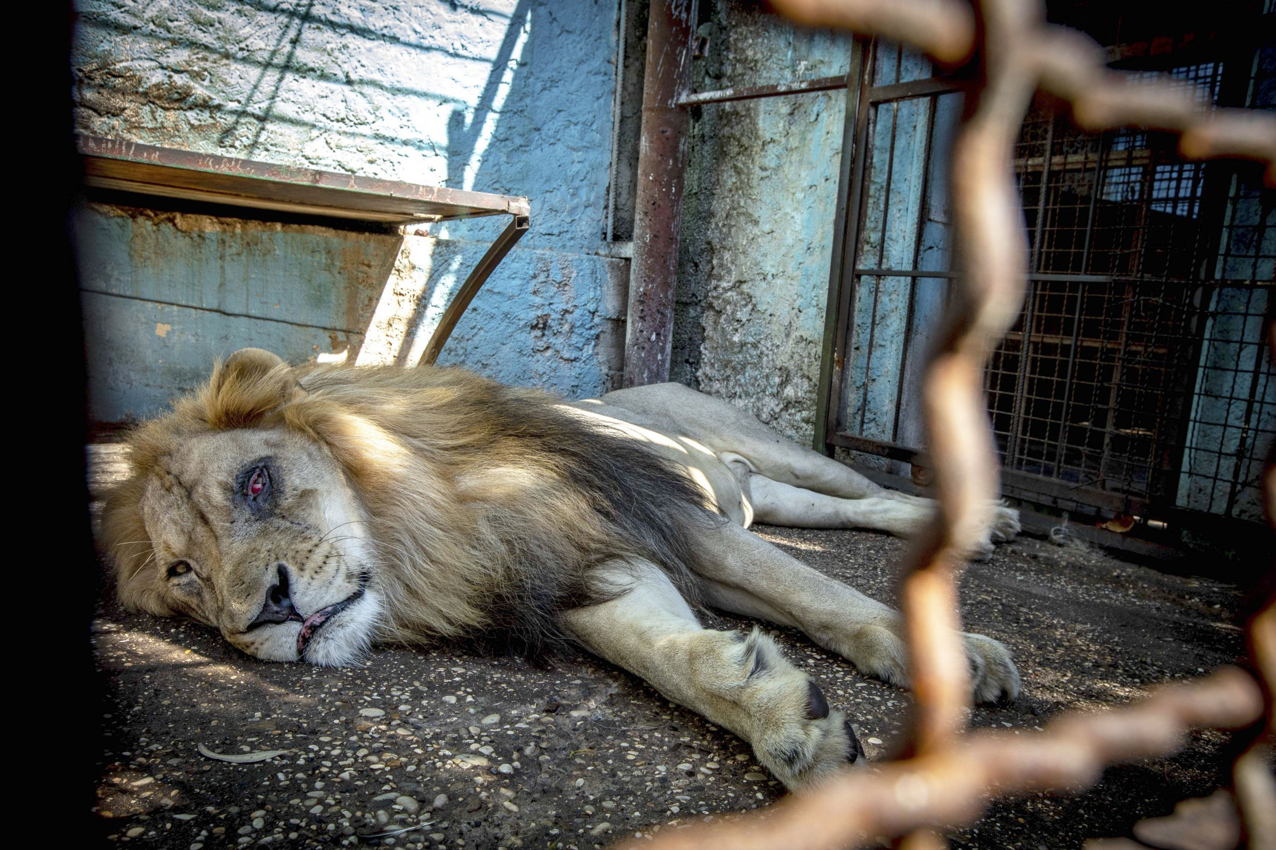 PIC FROM CATERS NEWS - (PICTURED the injured lion ) Albanian authorities are now being urged to act after new photos expose the depressing reality of a zoo labelled the safari park from hell. Pictures taken at an illegal zoo show a lion living in cramped conditions with what appears to be an eye injury as well as looking serverly malnourished. The shocking images have come to light exposing the horrendous animal cruelty at a zoo in the Albanian city of Fier. The photographer said: All the animals are kept in tiny, unhygienic concrete cages with no possibility to retreat from the elements or from the prying eyes of visitors to the zoo. The animals suffer from a range of physical and psychological issues caused by the miserable conditions, improper veterinary care and lack of an appropriate diet. SEE CATERS COPY
