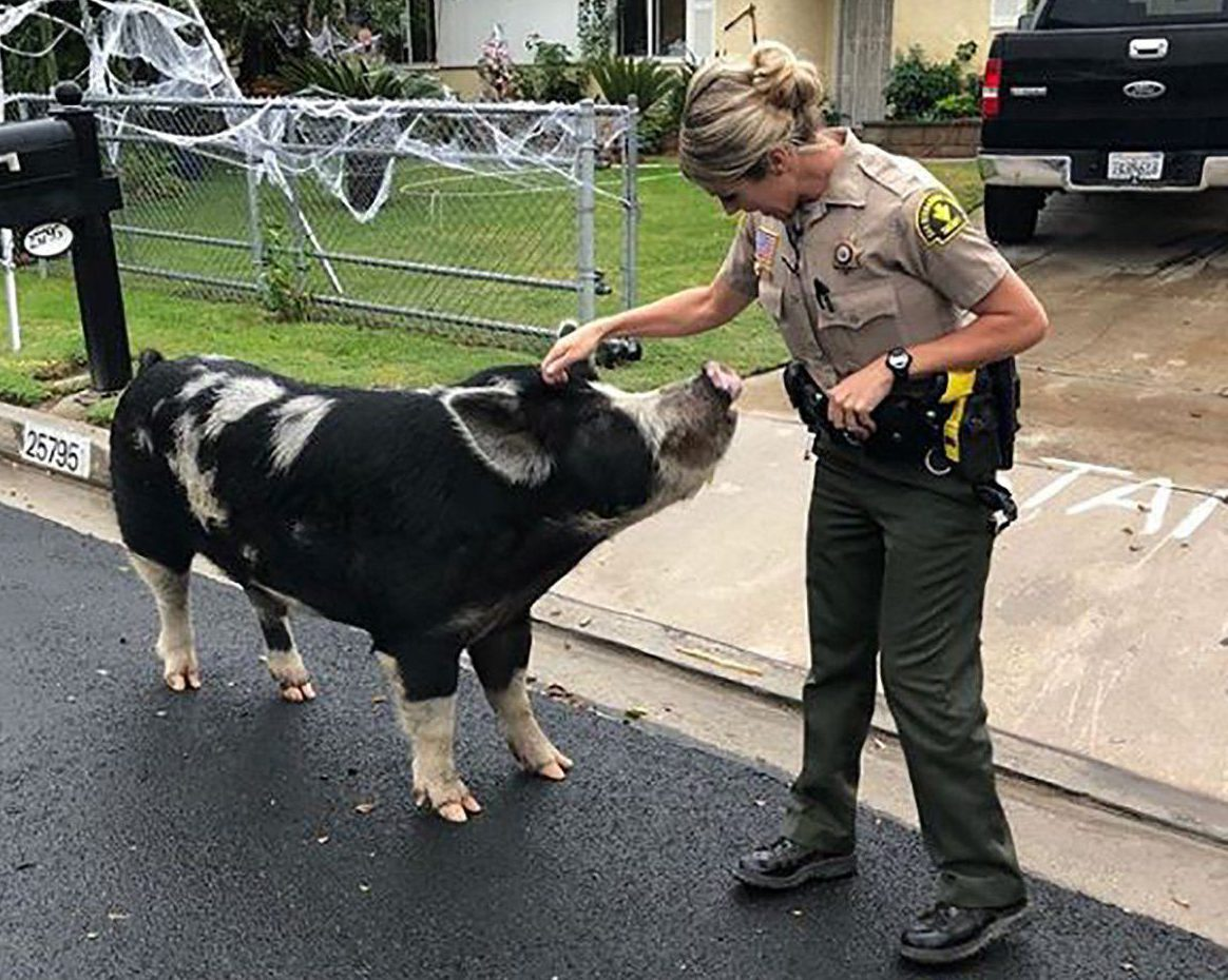 METRO GRAB VIA INSTAGRAM Pig lured home with doritos https://www.instagram.com/p/Bo69vxuAmIG/?taken-by=sanbernardinocountysheriff