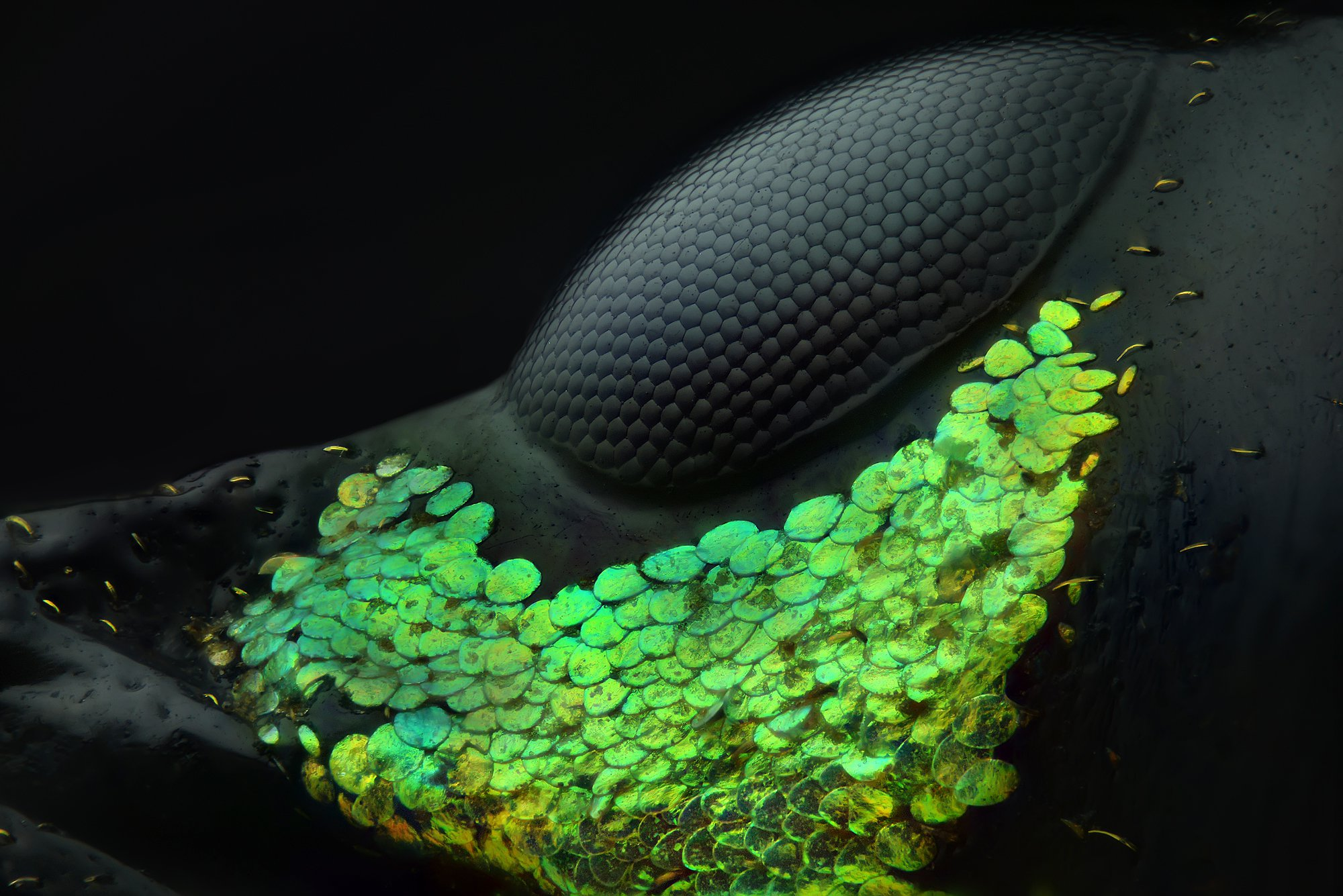 IN PHOTO: FIRST PLACE - Eye of a Metapocyrtus subquadrulifer beetle Nikon has announced the winning photos from the 2018 Nikon Small World Photomicrography Competition, the 44th annual contest celebrating ???excellence in photography through the light microscope.??? The first place photo was captured by Emirati photographer Yousef Al Habshi and shows part of the compound eye of an Asian Red Palm weevil and the greenish scales that surround it. The beetle is usually less than 0.43in (11mm) in length. Al Habshi created the photo using reflected light and by stacking 128 micrographs into a single photo. ???The main challenge was to show the black body against the black background without overexposing the skin and scales,??? the photographer says. ???Because of the variety of coloring and the lines that display in the eyes of insects, I feel like I???m photographing a collection of jewelry. Not all people appreciate small species, particularly insects. Through photomicrography we can find a whole new, beautiful world which hasn???t been seen before. It???s like discovering what lies under the ocean???s surface.??? Second place was awarded to Rogelio Moreno for his colorful photo of a Fern sorus, a clustered structure that produces and contains spores. The image was produced using image stacking and autoflorecence, which requires hitting the sorus with ultraviolet light. Each color represents a different maturity stage of each sporangium inside the sorus. Saulius Gugis captured third place for his adorable spittlebug photo, captured using focus-stacking. The spittlebug can be seen in the process of making his ???bubble house.??? Spittlebugs produce the foam substance to hide from predators, insulate themselves from temperature fluctuations and to stay moist. In addition to the top three winners, Nikon Small World recognized an additional 92 photos out over almost 2,500 entries from scientists and artists in 89 countries. Featuring: Eye of a Metapocyrtus subq