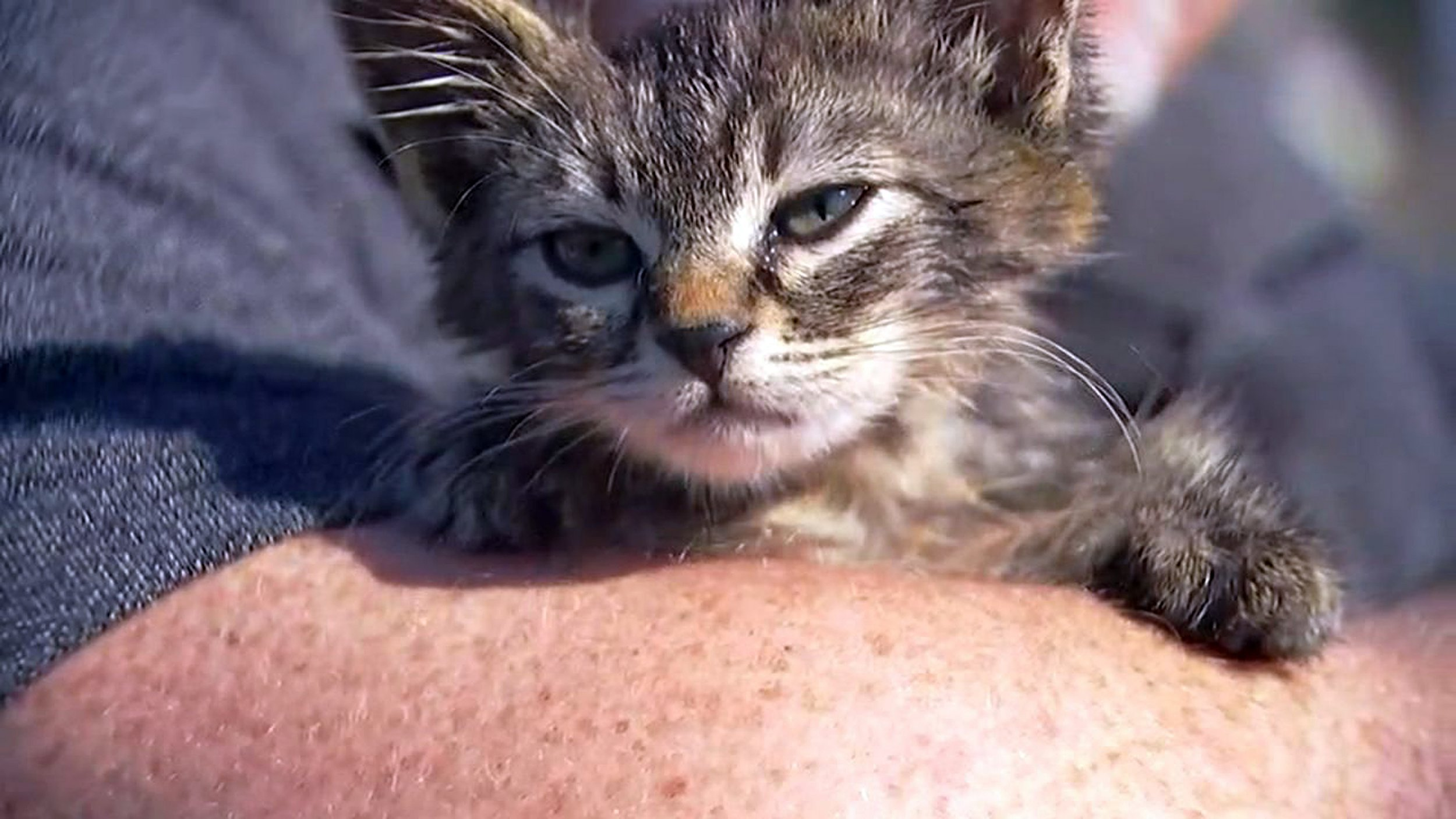 "This photo provided by Fox 12 Oregon shows a small kitten that was recently found glued to a busy road near Silverton, Ore. The kitten, who is expected to make a full recovery after a visit to the veterinarian, has found a new home with his rescuer, Chuck Hawley, whose wife named the kitten ""Sticky."" (Fox 12 Oregon via AP)"