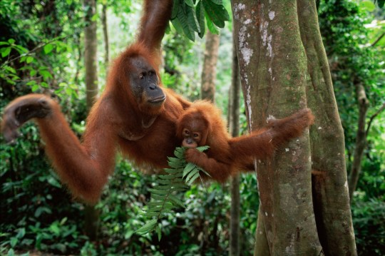"""Undated handout photo issued by WWF of Sumatran Orangutans in Sumatra, Indonesia. A global deal similar to the Paris Agreement on climate change is needed to protect wildlife and people from """"our wanton destruction of nature"""", WWF urges. PRESS ASSOCIATION Photo. Issue date: Tuesday October 30, 2018. Only a quarter of the world?s land area is free from the impacts of human activity and by 2050 that will have fallen to just a tenth, the Living Planet Report 2018 says. See PA story ENVIRONMENT Wildlife. Photo credit should read: Anup Shah/WWF/PA Wire NOTE TO EDITORS: This handout photo may only be used in for editorial reporting purposes for the contemporaneous illustration of events, things or the people in the image or facts mentioned in the caption. Reuse of the picture may require further permission from the copyright holder."""