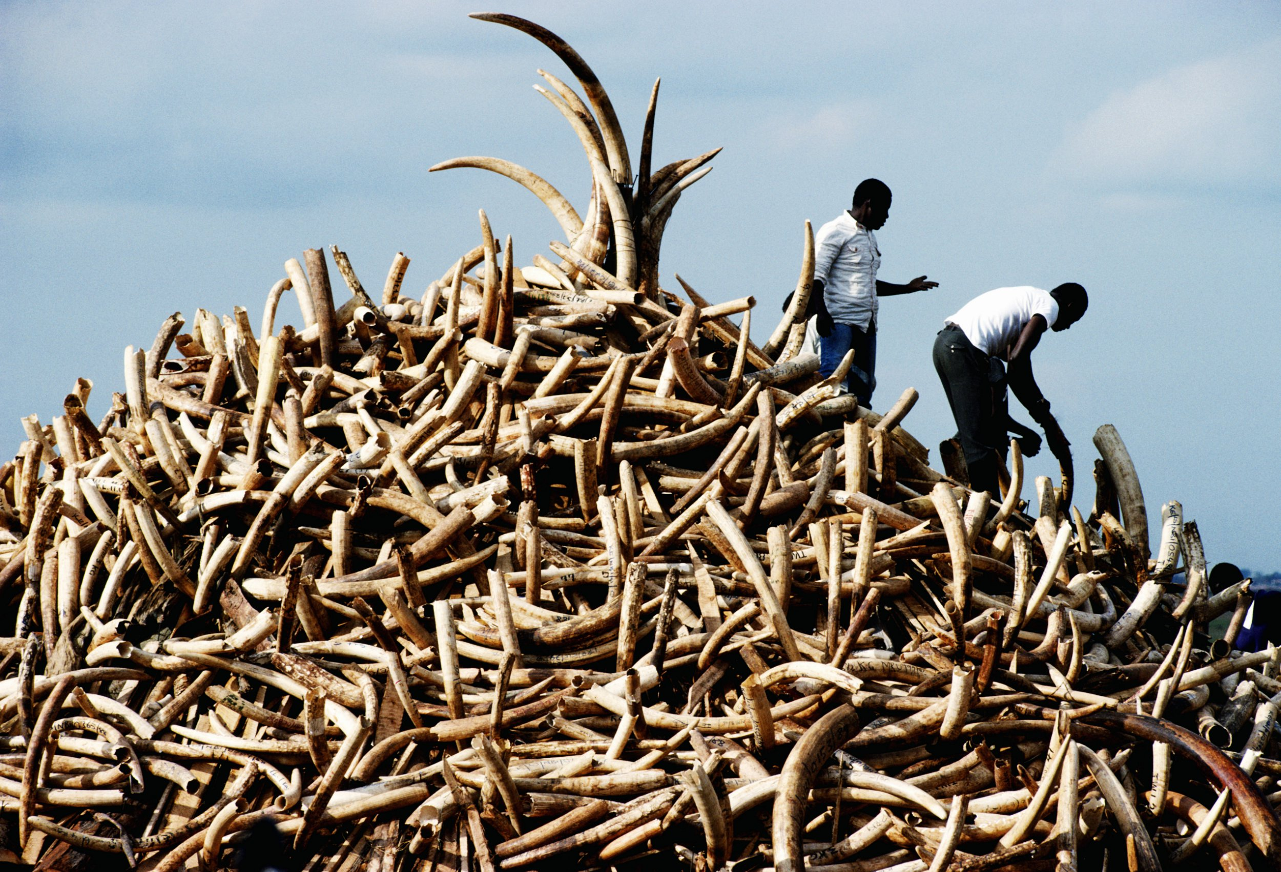 NAIROBI, KENYA - JULY 1989: A pile of ivory confiscated from poachers by Kenyan Game Wardens valued at $3 million.