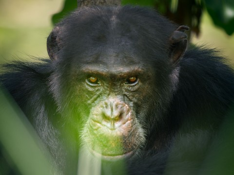 Dynasties' David the Chimp dies after rival Luther 'jumps him again' in bid to regain control