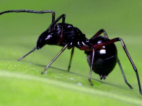 This spider produces creamy white fluid with four times more protein than cow's milk