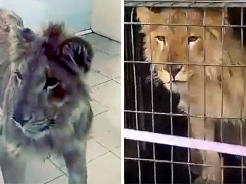 Lion 'won in a game of cards' is rescued after being abandoned in freezing temperatures