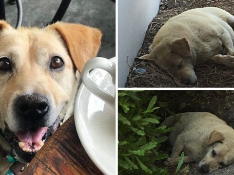 Lonely Labrador lay in dirt for months after owners abandoned him