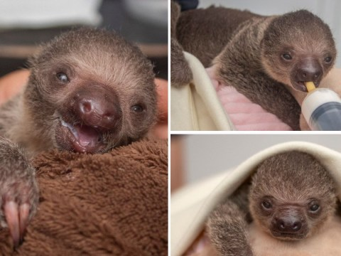 This adorable baby sloth raised by zookeepers will brighten up your Sunday