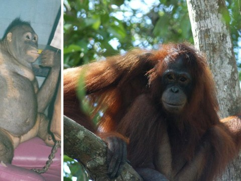 Orangutan was shaved, made to wear jewellery and used as a prostitute