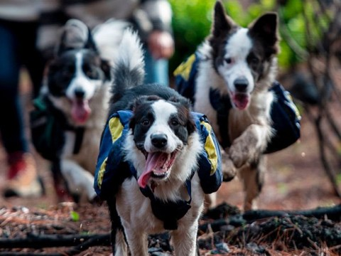 Dogs help replant forest devastated by wildfires