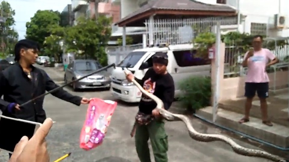 VIDEO STILLS -- This is the terrifying moment a 10ft long python was caught hiding in the toilet - after biting a man's PENIS. Terdsak Kaewpangpan, 45, went to the loo yesterday (Thu) morning at his office in Bangkok, Thailand. But while he was sitting on the seat, the hungry python slithered up through the u-bend and leapt up to plunge its fangs into Terdsak's manhood. Terdsak howled in pain as colleagues rushed into the toilet to find him wrestling with the blood-thirsty serpent. He ripped off the snake - which had clamped its mouth around its penis - and dashed outside into a car with blood pouring from his groin. The snake retreated back into the toilet bowl. Terdsak received 15 stitches in the tip of his penis and rescuers arrived to grapple with the python, which had been living in the pipe work for a several works.