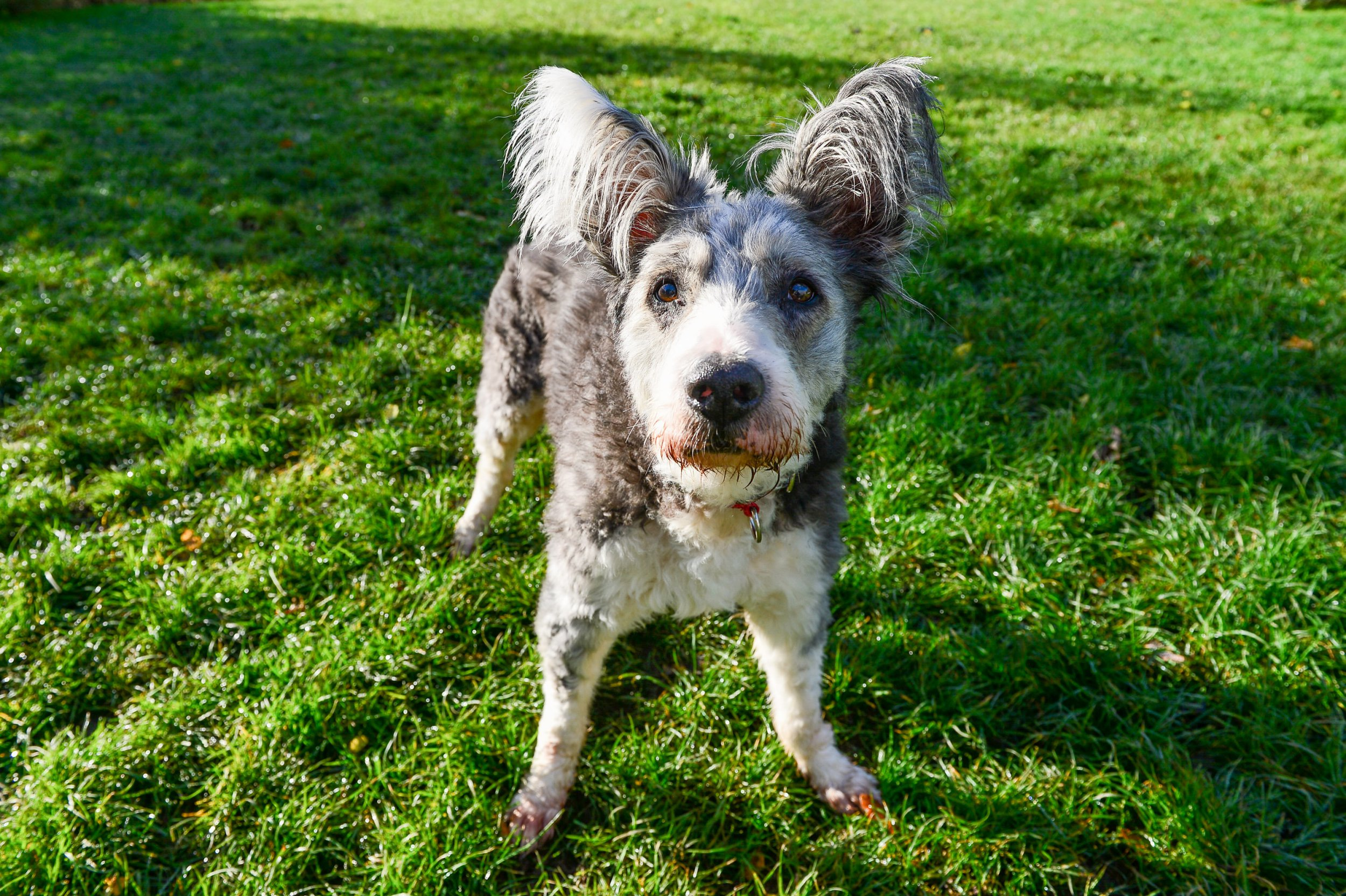 Twelve year old Bearded Collie cross Tug is looking for his forever home having been taken in by the RSPCA in Coventry. Tug is friendly, affectionate and has a massive zest for life, despite not having an easy life recently.See SWNS story SWMDdog.One of Britain's loneliest rescue dogs is struggling to find a home ??? because people are put off by its large bat-like EARS.Collie crossbreed Tug was taken in by the RSPCA after it was found abandoned in a terrible condition in September.But despite making a full recovery, the 12-year-old mutt has not had a single enquiry from potential owners in the three months since his rescue.Staff at Coventry???s RSPCA branch say Tug???s big ears and lolling tongue have put people off.