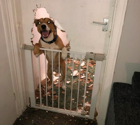 MERCURY PRESS. 14/11/18. Pictured: Benny the staffie and German Shepherd cross destroys door. A dog owner got a shock when she came home to discover her shame-faced pooch peeking through the door hed mauled to bits. Staffy and German Shepherd cross Benny was caught red-pawed by owner Stacie Postill after he created a big dog shaped hole in the kitchen door when she left him to have dinner with her sister. Stacie, 25, who had left her beloved pooch alone for just a few hours was hysterically when she saw Benny pop his head out of the door and wag his tail looking pleased with himself'. SEE MERCURY COPY
