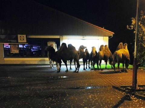 Camels escape from the circus and take a trip to Lidl