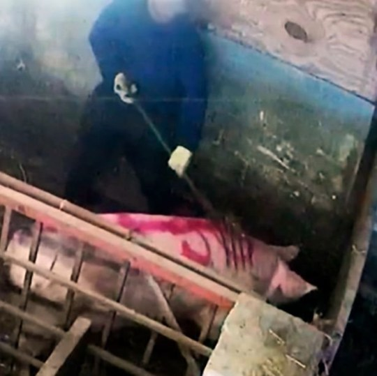 Two men have admitted abusing pigs after an animal rights group used hidden cameras to film them attacking animals at a farm. Troy Wagstaff, 30, of Chantry Lane, Grimsby and Artis Grogprkevs, 31, of East Marsh Road, Goxhill both pleaded guilty at Grimsby Magistrates Court, to causing unnecessary suffering to protected animals at Fir Tree Farm in Goxhill.