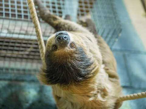There's a retirement home for sloths and it's adorable