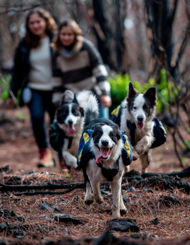 Trained border collies, run through a forest devastated by massive fire, while sowing tree seeds that fall to the ground from their special backpacks in Talca, about 350 kilometres south of Santiago on June 23, 2017. Instead of a vast, ancient native forest, there are only fallen trunks and burnt grasslands. But in an unprecedented campaign, three border collies are helping reforest extensive areas of Chile devastated by forest fires in early 2017. / AFP PHOTO / Martin BERNETTI (Photo credit should read MARTIN BERNETTI/AFP/Getty Images)