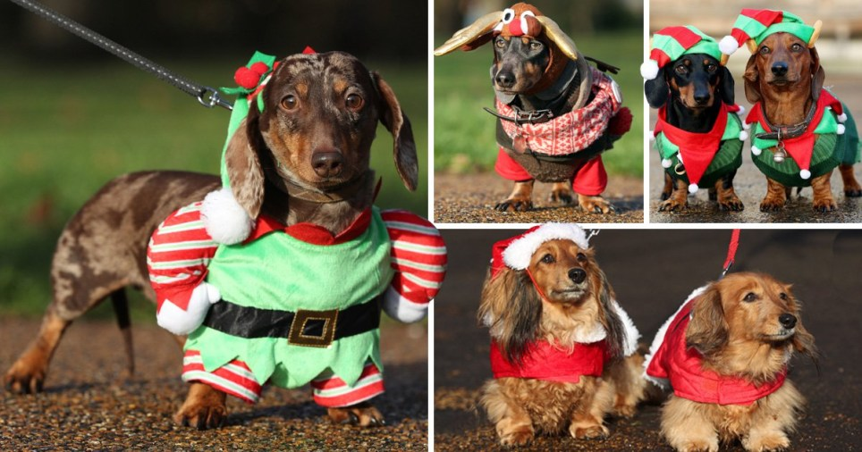 Christmas Dog.Over 500 Sausage Dogs Dressed In Christmas Outfits Gather In