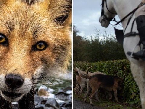 Labour to consider jail terms for people taking part in illegal fox hunting