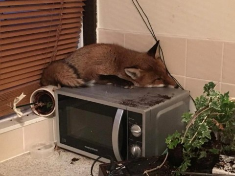 Fox sneaks into family's home and goes to sleep on their microwave