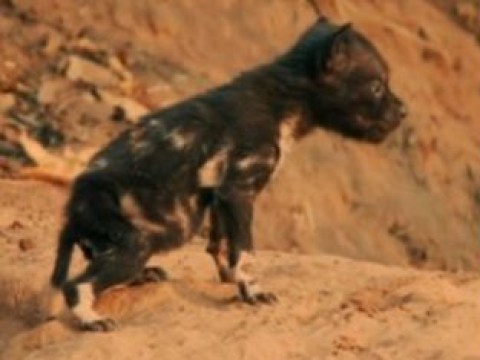 David Attenborough's Dynasties left viewers sobbing again as baby pups are savagely killed by hyenas