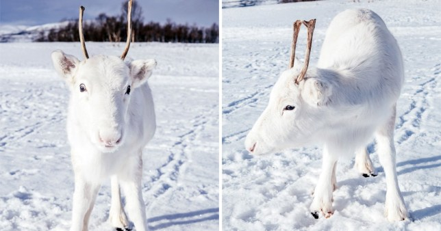 A magical encounter with an adorable and rare baby reindeer who is pure white