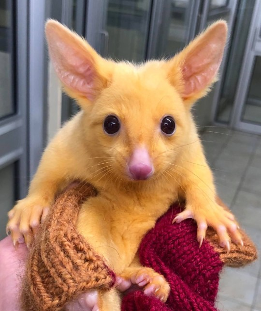 METRO GRAB - taken from the Facebook of Boronia Veterinary Clinic And Animal Hospital without permission Mutated gold possum has been dubbed the real-life Pikachu https://www.facebook.com/boroniavetclinic/photos/a.897439643653363/2208445405886107/?type=3&theater Credit: Boronia Veterinary Clinic And Animal Hospital