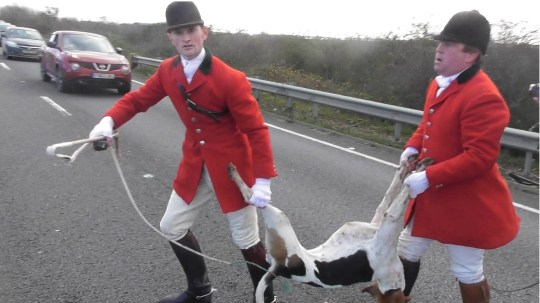 Fitzwilliam Hunt hound killed chasing fox across A14, A14 Thrapston, CITY Saturday 08 December 2018. Picture by Terry Harris.