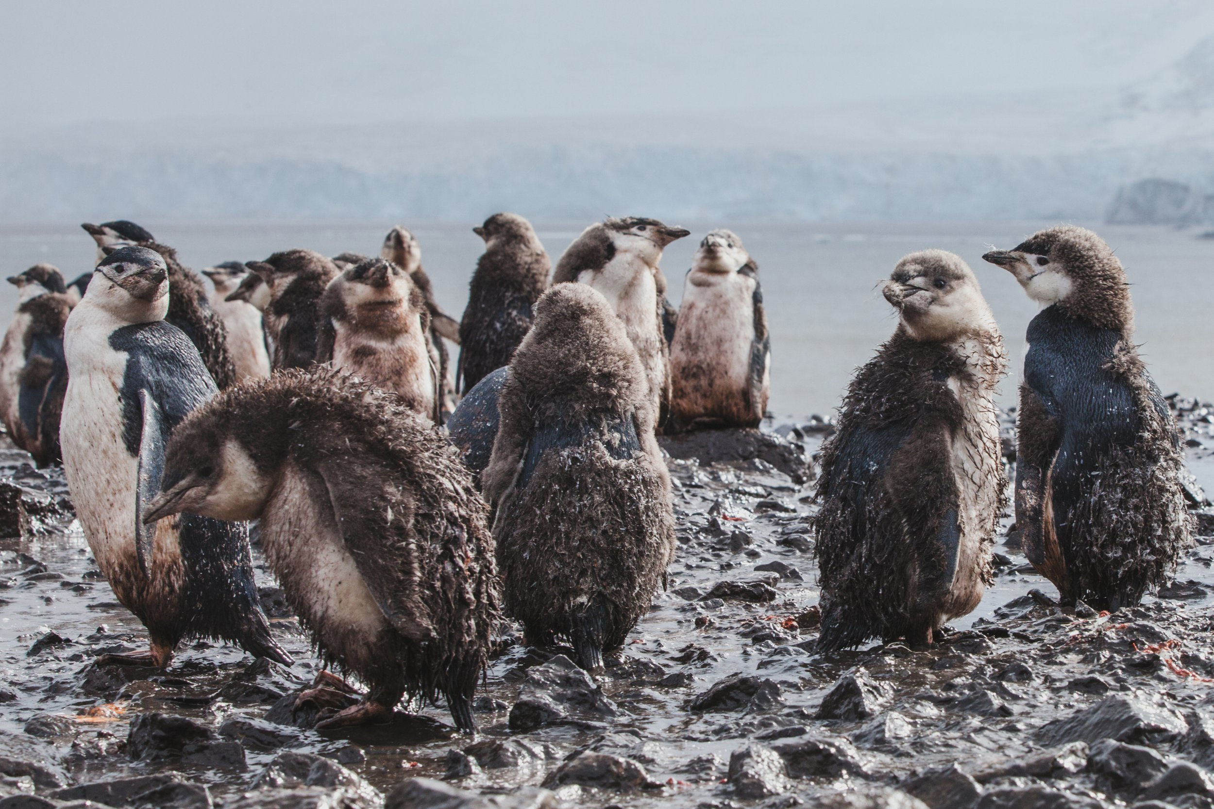 Penguin chicks in Antarctica are freezing to death because of rain