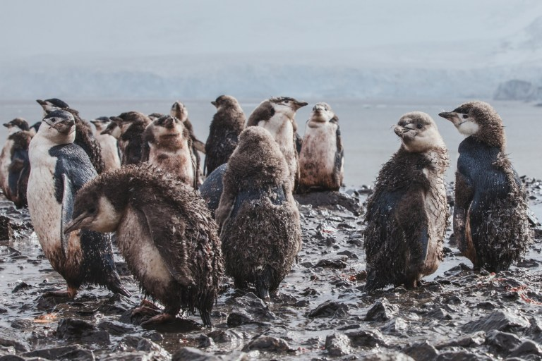 dirty wet baby penguins in the mud under rain in Antarctica, funny bird animal, unlucky bad unhappy day