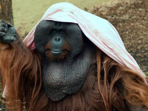 These orangutans and chimps are having a great time making costumes with bedsheets