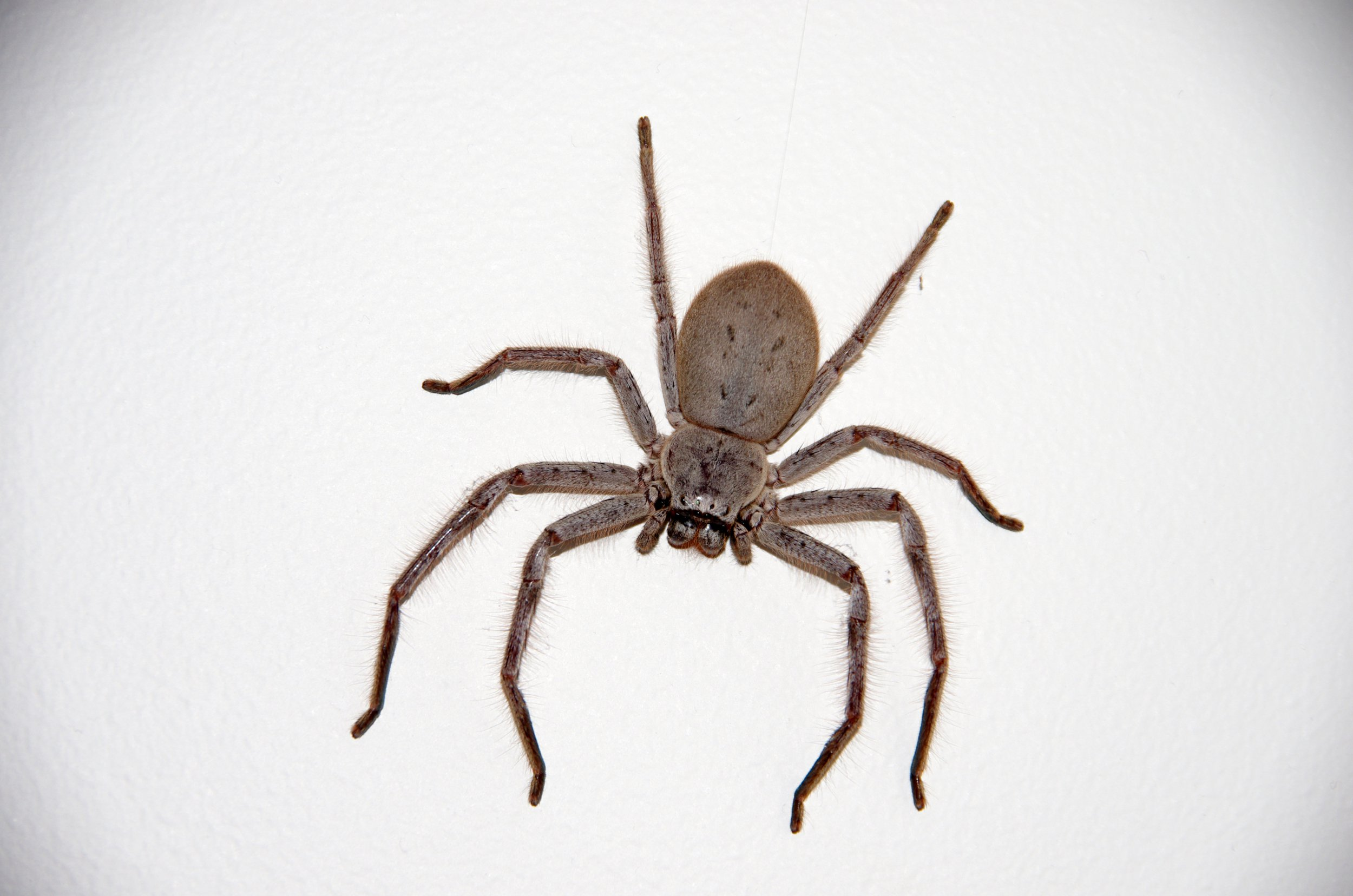 A Huntsman spider clinging to a white-painted wall inside a house in Canberra, Australia.