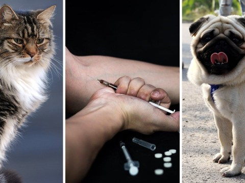 Your cat or dog could help get you hooked on opioids, scientists warn