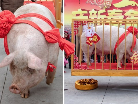 Giant bad-tempered hog is given the title of Pig King and paraded through the city