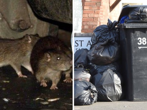 Rats feast on Christmas turkey carcasses after bins go uncollected for two months