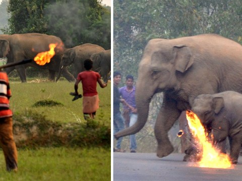 Villagers throw burning missiles at elephant and calf trying to get home
