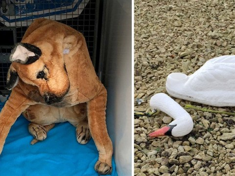 'Beheaded' plastic swan and 'dead' cuddly toy among RSPCA's weirdest call-outs