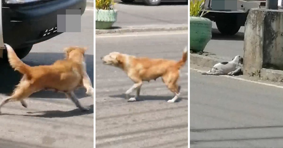 Heartbreaking moment dog tries to stop traffic to get help for her dying puppy