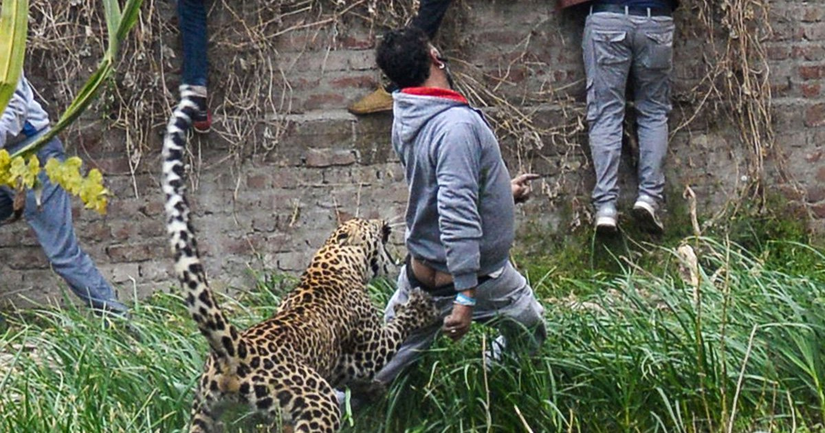Leopard on terrifying rampage pulls man's pants down