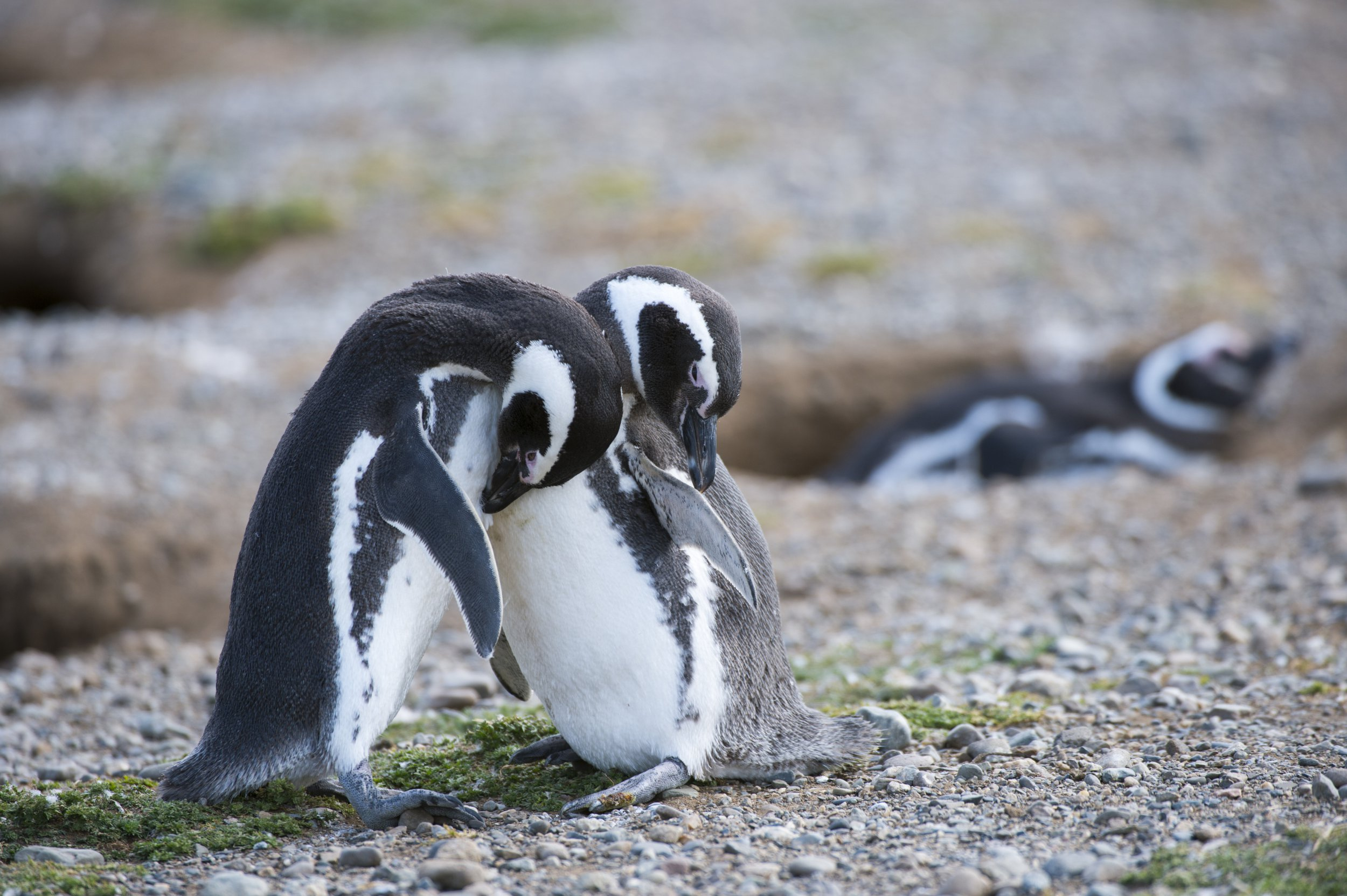 CHILE - 2013/12/18: Magellanic Penguins (Spheniscus magellanicus) preening feathers at the penguin sanctuary on Magdalena Island in the Strait of Magellan near Punta Arenas in southern Chile. (Photo by Wolfgang Kaehler/LightRocket via Getty Images)