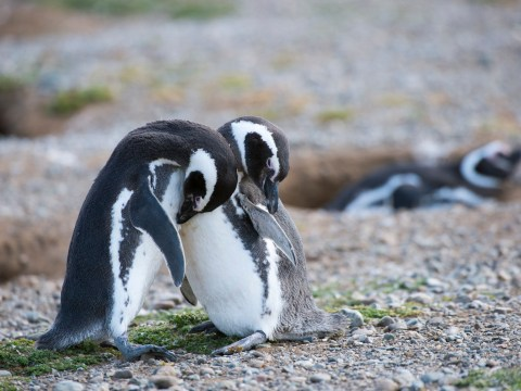 Penguins split from their partners for winter but still remain loyal