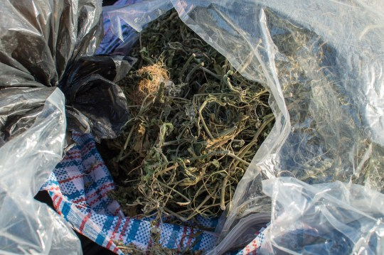 """Bags full of offcuts from cannabis plants which were dumped in a skip in Stirchley, Birmingham. January 8, 2019. See SWNS story SWTPweed. A group of labourers were astonished when they found a huge """"SKIP full of cannabis"""" - and claim police said they'd come and investigate in five days time. The workers from a window making firm estimated around 50 bin bags of the drugs had been dumped in the industrial container outside their factory overnight. Enormous vacuum-packed bags of leaves and stalks were piled high, alongside pungent bin bags full of off cuts and other growing equipment. Window fabricator Jordan Hamilton, 24, said the workers reckon a gang of growers had dumped their factory overnight and the boss rang the police. But he claims they were told it would be """"five days"""" before officers from West Midlands Police could attend the suspected drug dump. The workers were forced to chuck it out of the skip on to the car park, so they could use the container for work. Dozen of bags filled with what looks like cannabis is now piled up alongside the skip, which is just 400m from a school."""