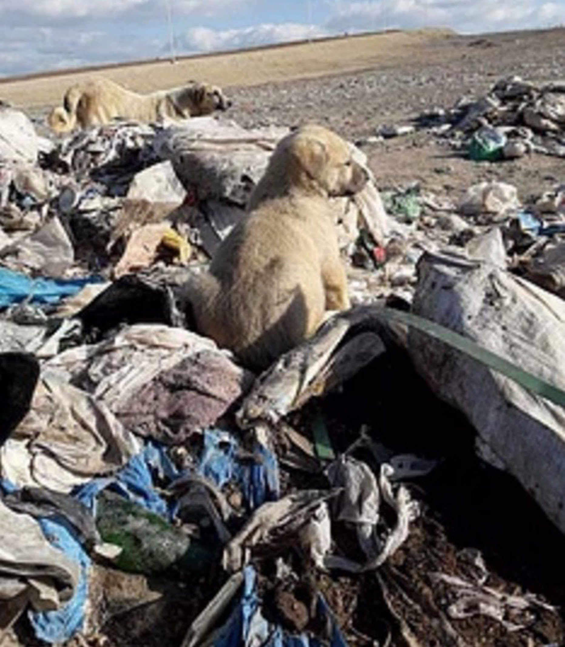 PICS BY RESCUERS WITHOUT BORDERS / CATERS NEWS - (PICTURED: Some of the scenes from the landfills in Corum, Turkey, there are claimed to be 800 dogs roaming there - many the nonprofit feed if they cant help them at the time - they are limited by funds) - An abandoned dog who was found waiting to die in mounds of trash is recovering as part of rescue efforts to save more than 800 landfill dogs from freezing to death. Kratos, an eight-year-old Kangal Shepherd, was severely dehydrated, malnourished with protruding ribs and spine, open sores, and hair loss upon his discovery in Corum, Turkey. Collapsed in a muddy hole that served as a small wind shelter among the piles of trash, bearing a defeated look, this dog is just one of 800 Rescuers Without Borders regularly see.They believe the problem stems from irresponsible owners not neutering and spaying pets, as well as the animals being discarded after they are no longer needed for work. - SEE CATERS COPY