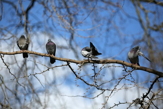 LONDON, ENGLAND - MARCH 09: Pigeons preen their feathers while sitting on a branch in the sunshine in St James's Park on March 9, 2017 in London, England. Seasonable weather has returned to the capital today. (Photo by Dan Kitwood/Getty Images)