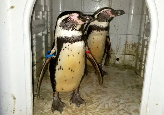 Officers p-p-picked up a pair of penguins in Strelley Village, Nottingham, after they were reported stolen from a zoo. See SWNS story SWMDpenguins. A man who alerted police to two stolen penguins was labelled a ?penguin thief? by protesters who thought he was to blame. Reece Oliver, 27, was targeted by members of the public outside his home after he discovered the two Humboldt penguins he had bought had been taken from a zoo. Mr Oliver, show jumper from Strelley, Notts., who keeps other exotic animals, bought the two penguins in early January after seeing them advertised on Facebook.