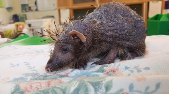 "Meet Bear - the adorable bald hedgehog who now receives daily massages to help him regrow his spines. Bear was rescued by a concerned member of the public who took him to Cuan Wildlife Rescue Centre in Much Wenlock, Shropshire. Staff quickly determined the unusual looking creature was a bald hedgehog who had lost his spines. They believe he woke up early from hibernation with an ear mite infection, which caused his needles to fall out due to stress. Luckily for Bear, the hapless hedgehog is now receiving around the clock care including daily massages with an ointment made from Aloe Vera. It is hoped his treatments will encourage blood circulation in the skin to promote growth in the spines. They also help to relax Bear and relieve his stress. Fran Hill, the manager of the rescue center, said: "" It s likely he went into hibernation with a small infestation of ear mites, irritating little blighters. During his slumber they had covered him, causing massive irritation to his skin. Along with the dehydration and massive weight loss, while sleeping, the mites had taken hold. They were running over him on admission. He was given a bath to soothe his skin and wash away the mites. Then a good skin massage with aloe gel. He will have to have worming treatments which will help with weight gain too. His spines should grow back but it will take time. I m hoping in around two months he will be looking much better and will be on the way to being released. This is the best gift we could give him. Even though he is quite weak, he is still quite huffy! If you want to pick him up, he will take one look at you and curl so tight! A problem when one of his meds is oral! He s happy for us to watch him and almost pose but no touching."". 23 Jan 2019 Pictured: Bear the bald hedgehog. Photo credit: Cuan Wildlife / MEGA TheMegaAgency.com +1 888 505 6342"