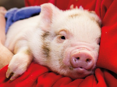 Micro pigs abandoned by owners 'who don't realise they will grow'