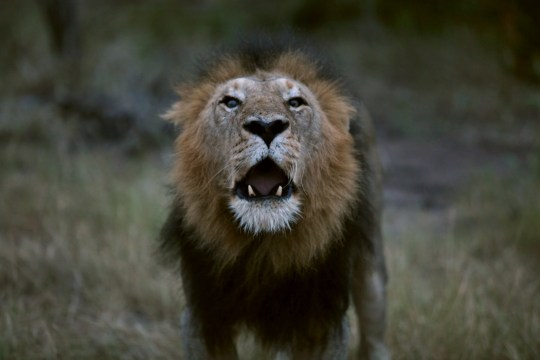 SABI SANDS, SOUTH AFRICA - MARCH 28: A black-maned male lion roars after mating at dusk on March 28, 2015 at the Sabi Sands private game reserve in the eastern province of Mpumalanga, South Africa. Sabi Sands is a 65,000 hectare reserve, pioneered by local landowners in the 1950's, and shares an open border with the world-renowned Kruger National Park. It is home to the Big 5 of wildlife and is in particular well known for its leopard sightings. Visitors to the park must stay at the 23 unique game lodges, day visitors are not allowed, and are taken on twice daily guided safaris by armed rangers in open jeeps, something that is strictly prohibited in neighboring public Kruger National Park. (Photo by David Silverman/Getty Images)