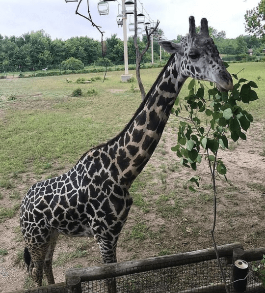 Giraffe killed itself after catching head on rafter, panicking and snapping its spine