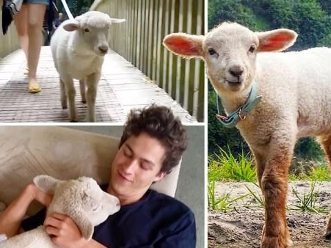 Zuko the little lamb thinks he's a puppy