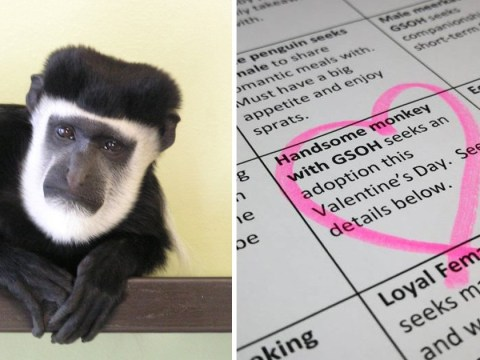 Maarten the monkey needs someone to answer his lonely hearts column and adopt him for Valentine's Day